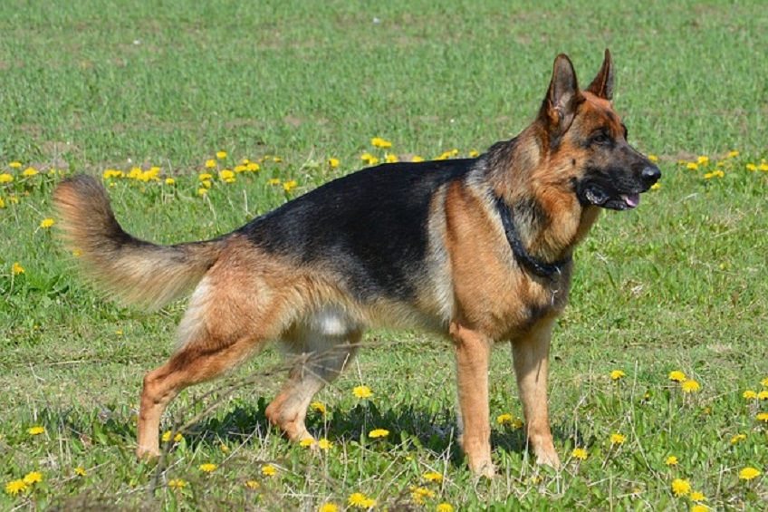 German Shepherd, American & Canadian Show Breed