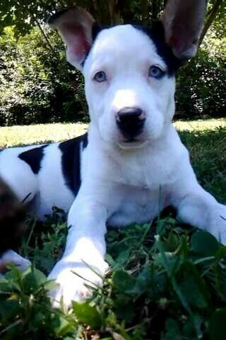 Dog Breed Pitsky