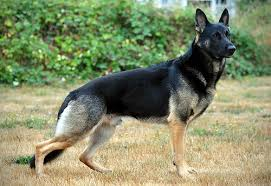 West German Shepherd Working Line