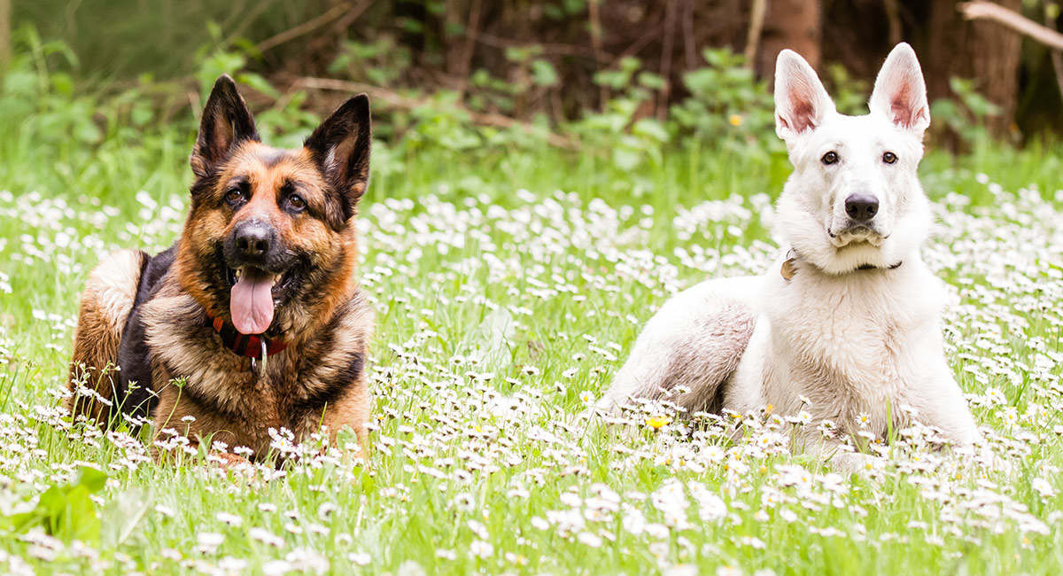 American show German Shepherd & White German Shepherd